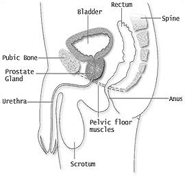 mens_pelvic_floor